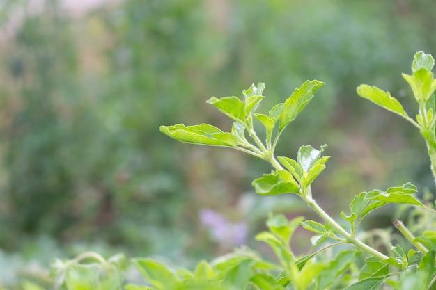 Verse heilige basilicumboom in tuin, ocimum-tenuifloruminstallatie
