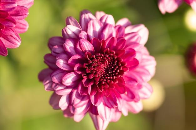 Verse heldere roze chrysanten in herfst tuin. sluit opgaande chrysanten. roze bloemen concept.