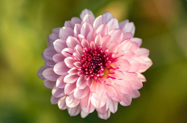 Verse heldere roze chrysanthemum in herfst tuin. sluit een roze chrysant. roze bloemconcept.