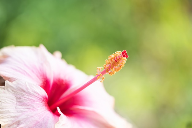 Verse hibiscusbloem op aardoppervlak.