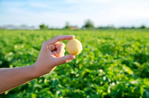 Verse jonge aardappelen in de handen van een boer op de achtergrond van agrarische aardappelplantages