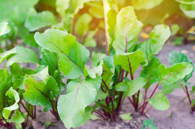 Verse jonge bieten die in de tuin groeien.