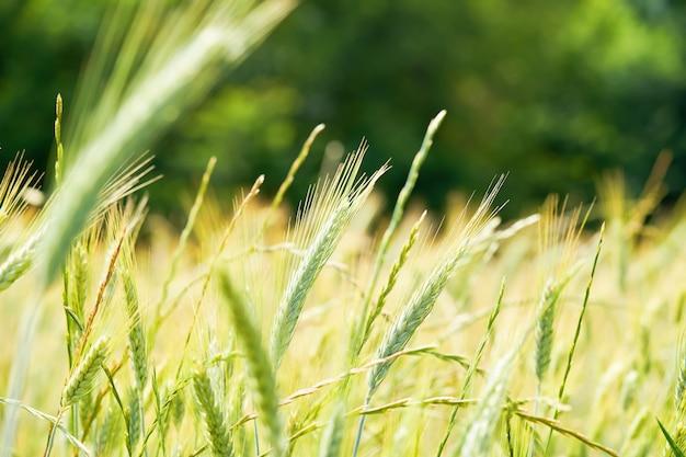Verse jonge tarwe oor op wazig bos achtergrond op zonnige dag. groene emmer-tarwe. triticum dicoccum spike.