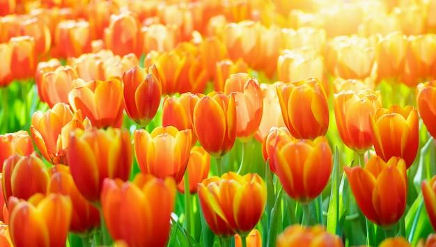 Verse kleurrijke tulpen bloeien in de tuin