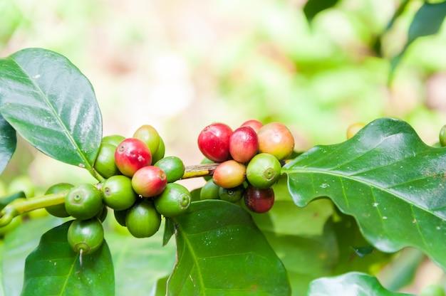 Verse koffiebonen in koffieplanten boom, verse arabica koffievruchten op boom