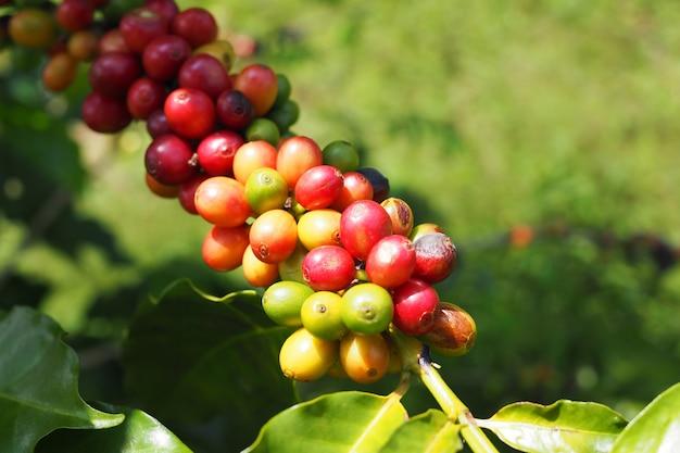 Verse koffiebonen met greebladeren op boom in tuin