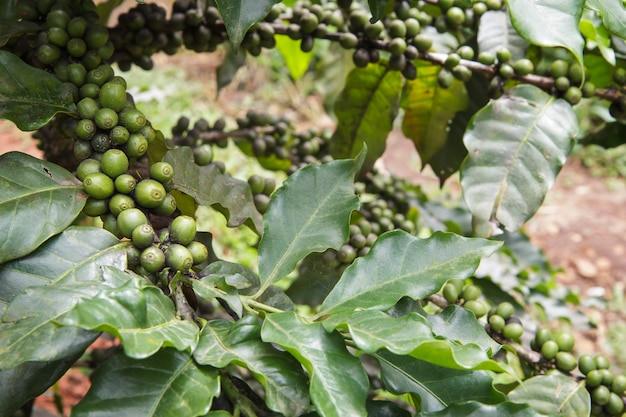 Verse koffiebonen of koffiebonen op boom in landbouwbedrijf op boom bij het nationale park van doi inthanon in chiang mai, provincie azië thailand