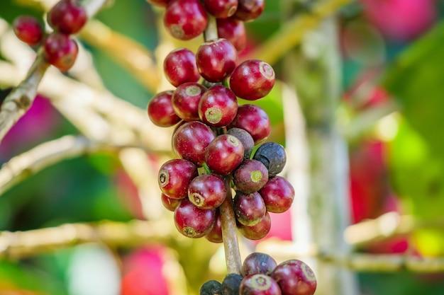 Verse koffiebonen op boomtakken