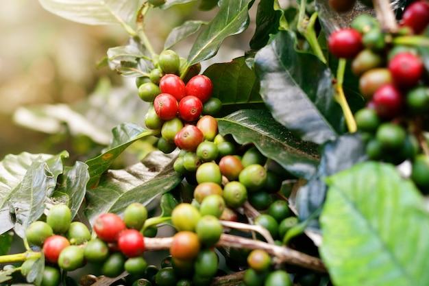 Verse koffiebonen op bosbomen.