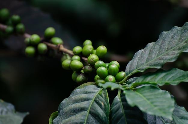 Verse koffiekers op koffieboom