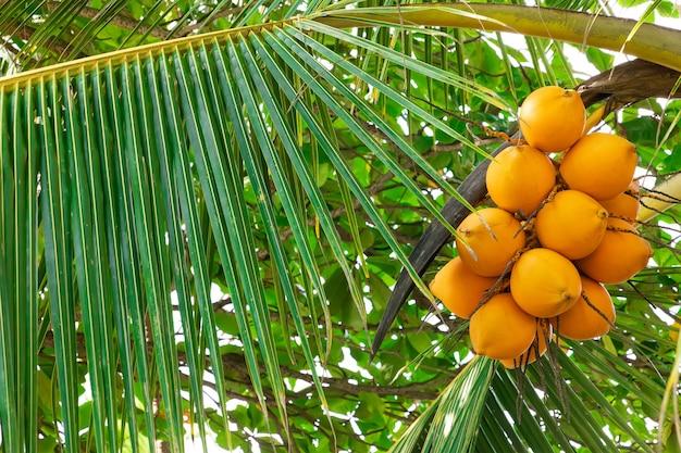 Verse kokosnoot cluster op kokospalm extreme close-up