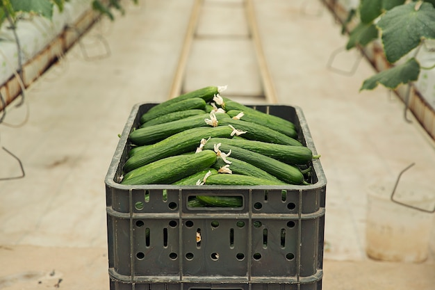 Verse komkommer verzameld uit kasplanten.