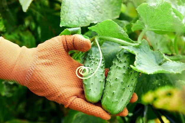 Verse komkommers in handen van een boer