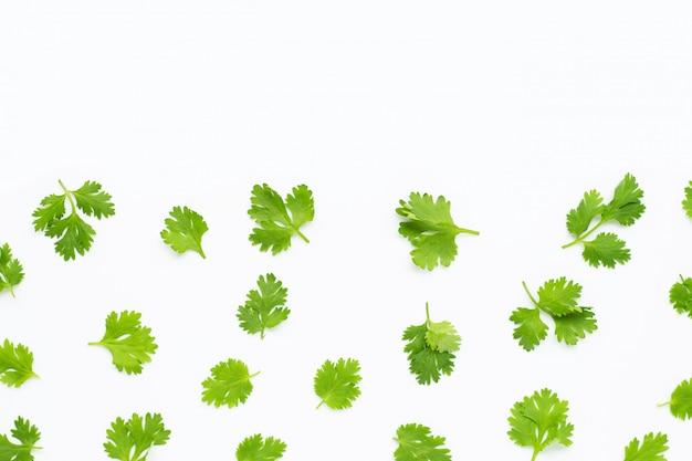 Verse korianderbladeren op wit.