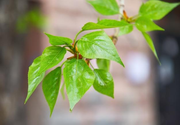Verse limoenblaadjes in de lente bloeiende groene bladeren op een boomtak close-up plantaders