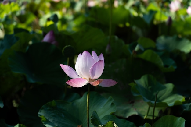 Verse lotusbloembloem in meer