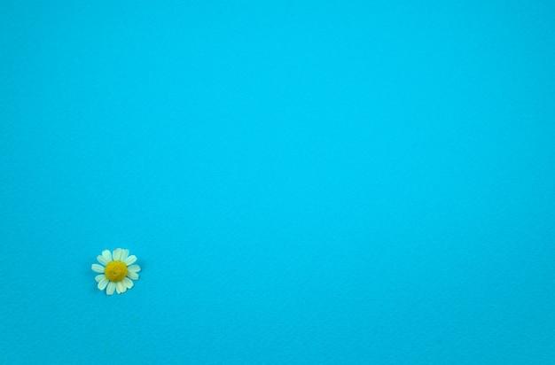 Verse madeliefje bloemen plat lag op turquoise blauwe ruwe papier textuur abstracte achtergrond