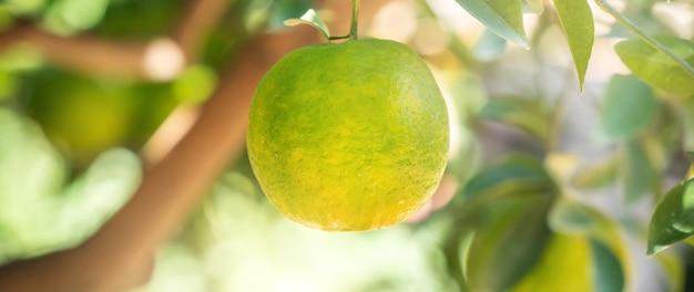 Verse mandarijn op de boom in de oranje tuinboomgaard met achtergrondverlichting van de zon.