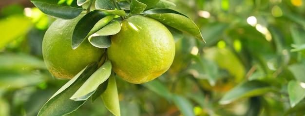 Verse mandarijn op de boom in de sinaasappeltuin met achtergrondverlichting van de zon
