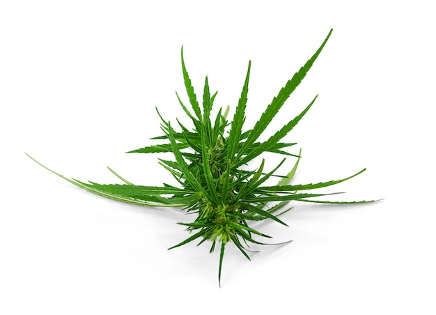 Verse marihuanaknop die op wit wordt geïsoleerd