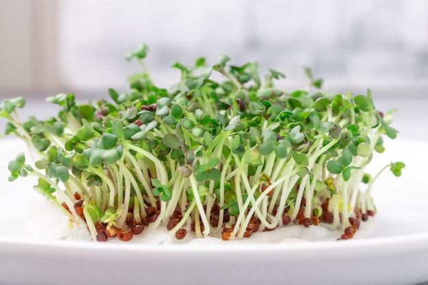 Verse micro- greens close-up. microgroene mosterdspruiten. microgreens groeien. gezond eten concept.