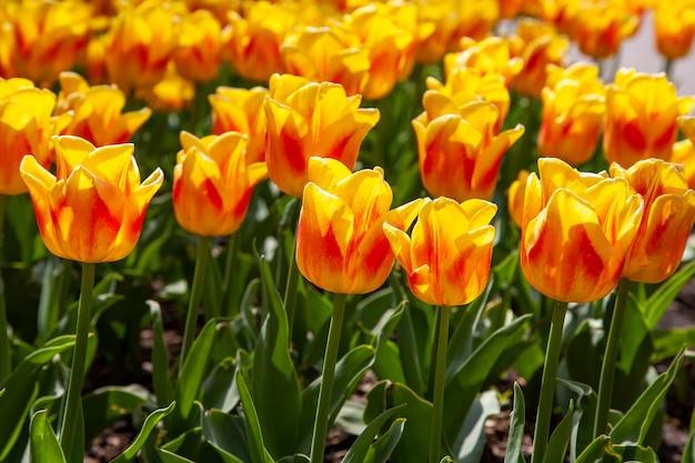 Verse mooie rode gele tulp bloemen in de tuin