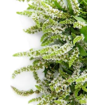Verse munt bloemen geïsoleerd op wit