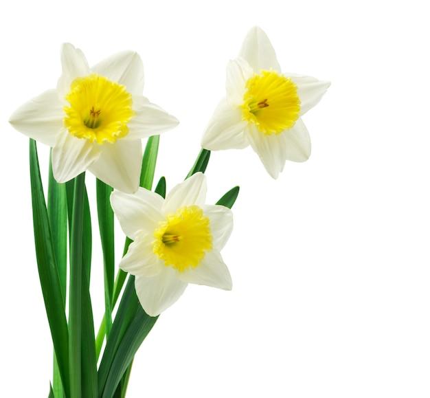 Verse narcissen bloem geïsoleerd op een witte achtergrond