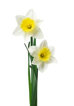 Verse narcissen bloemen geïsoleerd op een witte achtergrond