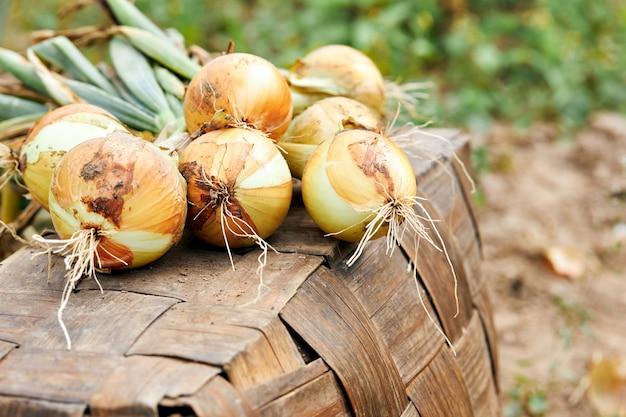 Verse oogst van biologische uien