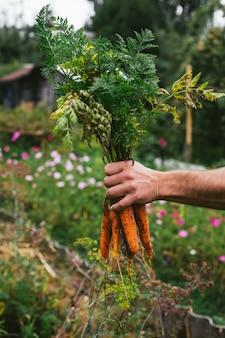 Verse oogst van wortelen in handen van de boer.
