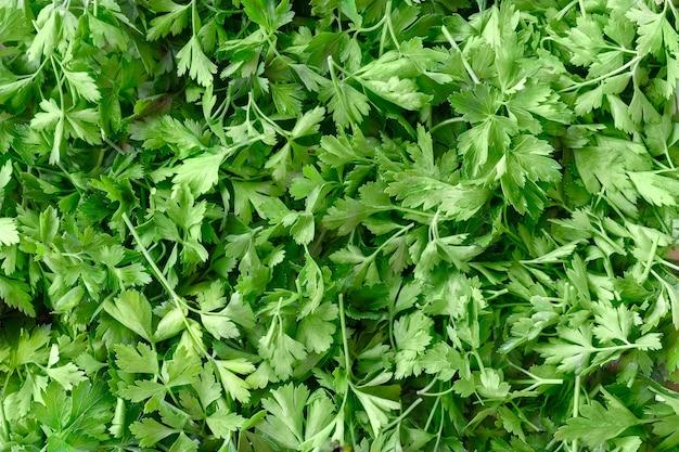 Verse organische groene peterseliebladeren