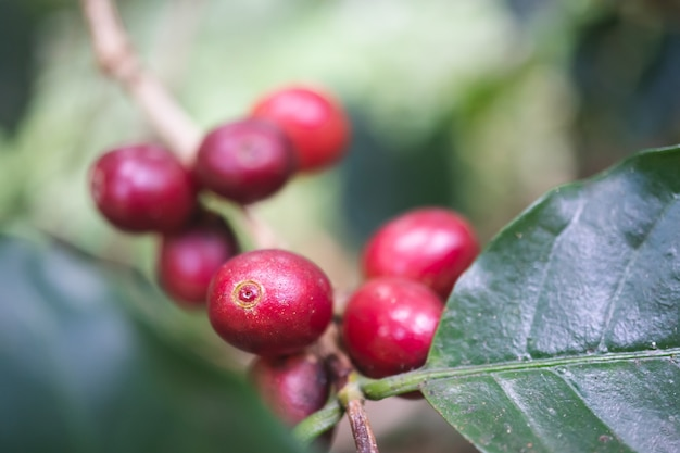 Verse organische koffiekersen met koffieboom in noordelijk deel van thailand