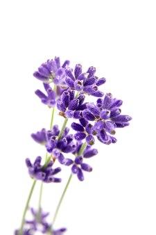 Verse organische lavendelbloemen die op wit worden geïsoleerd
