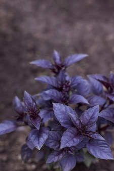 Verse organische purpere basilicuminstallatie in de tuin