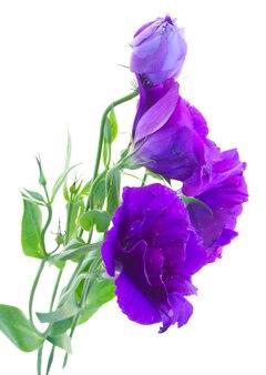 Verse paarse eustoma bloemen geïsoleerd op wit