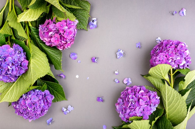 Verse paarse hortensia's met groene bladeren op grijze achtergrond. vrije ruimte voor tekst. bovenaanzicht. kopieer ruimte