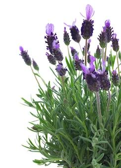 Verse paarse lavendel bloemen close-up geïsoleerd op witte ruimte