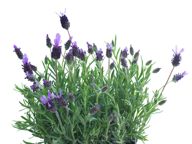 Verse paarse lavendel bloemen geïsoleerd op witte ruimte
