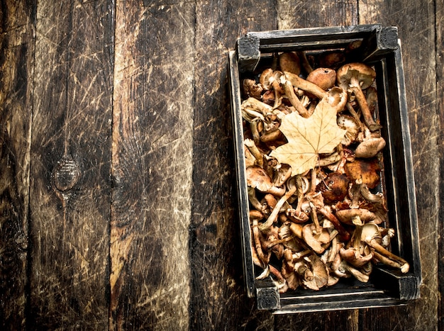 Verse paddestoelen honingzwam in een oude doos.