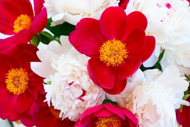 Verse pioenroos bloemen achtergrond