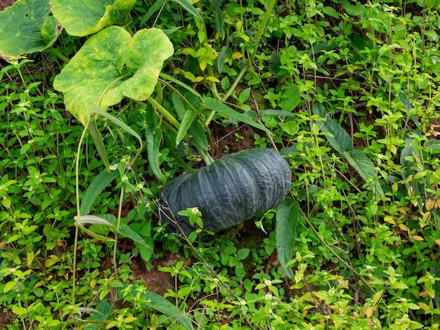 Verse pompoen met groene schil op boomstruik in tuin op de grond, aanplant van boerderij