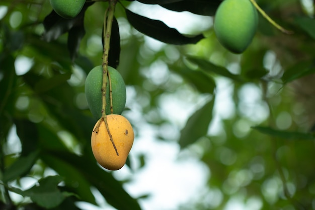 Verse rauwe en rijpe mango op boom, zomerfruit op boom