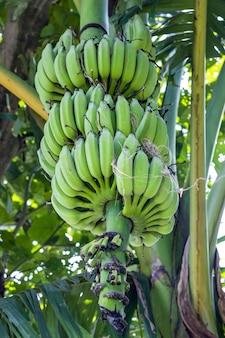 Verse rauwe groene bananen die van dichtbij aan de boom hangen