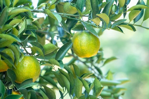 Verse rijpe mandarijn mandarijn op de boom in de sinaasappelboomgaard tuin met achtergrondverlichting van de zon.