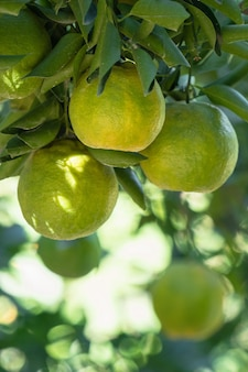 Verse rijpe mandarijn mandarijn sinaasappel op de boom in de oranje tuin boomgaard met achtergrondverlichting van de zon.