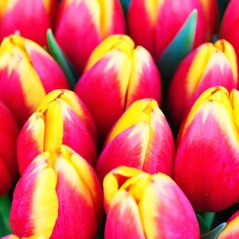Verse rode en gele tulpen met de groene lente van de bladerenaard