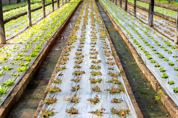 Verse rode en groene sla in de biologische groenteboerderij.