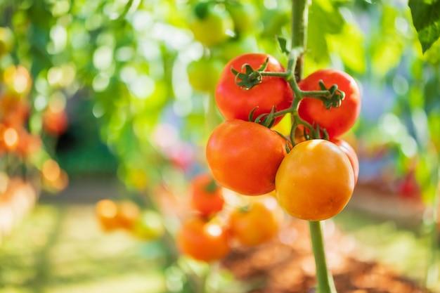 Verse rode rijpe tomaten die aan de wijnstok hangen die in de biologische tuin groeit