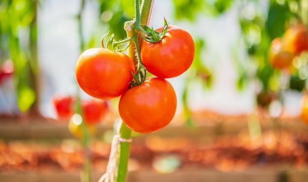 Verse rode rijpe tomaten opknoping op de wijnstok plant groeit in biologische tuin